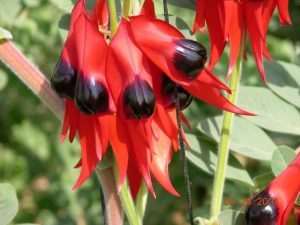 desert pea-close up
