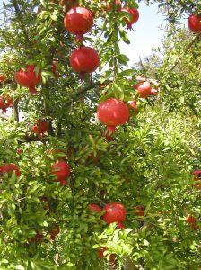פירות רימון