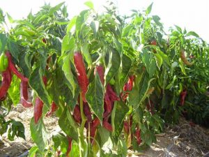 Paprica plant