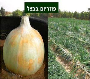 Fusarium-proliferatum-in-Onion