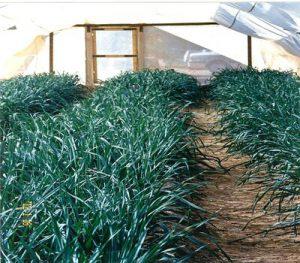 Screen-House-Production-of-Virus-free-Garlic