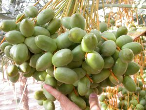 bunch of green dates