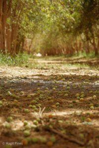 Marola Orchard